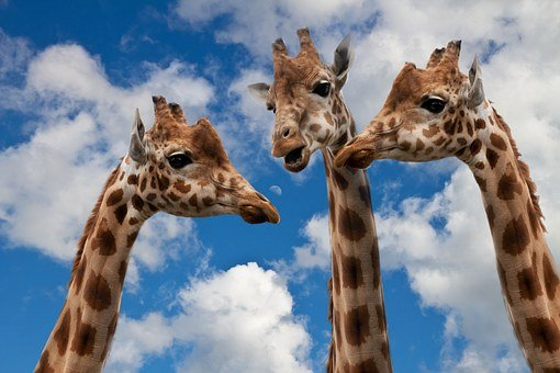 Three giraffes talking together with one being dominant.